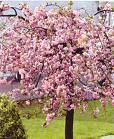 Prunus serulata
