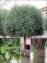Prunus fruticosa