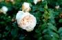 Apricot Blosson