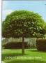 Catalpa bignoides